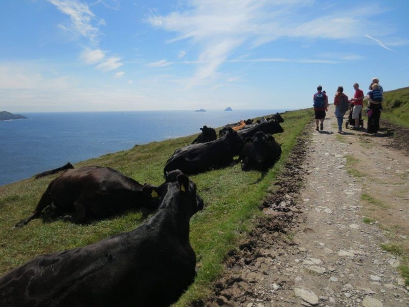 Friendly Cows on the Bray Head Path, Valentia Island, Co Kerry, Wild Atlantic Way, Ireland Discovery Point, Star Wars