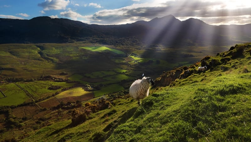 Bridia Valley Black Faced Ram, The Kerry Way Walking Trail, Ireland - Wild Atlantic Way