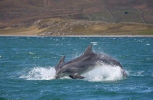 Dolphins Valentia Island on the Wild Atlantic Way by Valerie O'Sullivan
