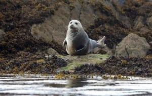 Grey Seals Castlecove on the Wild Atlantic Way by Valerie O'Sullivan