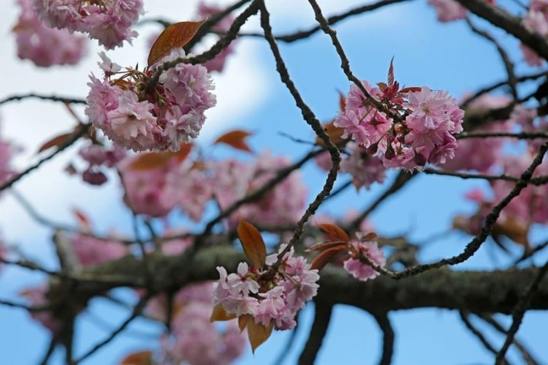 The Cherry Blossom3